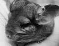 Little chinchilla black and white picture Stock Photo
