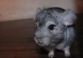 Little Chinchilla