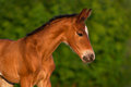 Little colt horse bay newborn portrait outdoor Stock Images