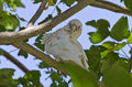 Little corella bird in tree native australian the cacatua sanguinea sitting a with ruffled feathers Royalty Free Stock Images