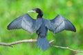 Little Cormorant Royalty Free Stock Photo