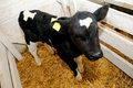 Little cow calf in box with straw Royalty Free Stock Photo