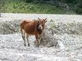 Little cow nepal annapurna circuit kali gandaki river valley Stock Image