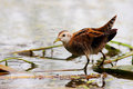 Little crake porzana parva in their natural environment at – cm – in – cm length they are slightly smaller than spotted Stock Image