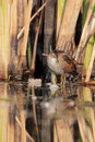 Little crake porzana parva in their natural environment Stock Image