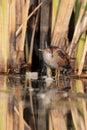 Little crake porzana parva in their natural environment Stock Image