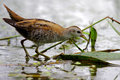 Little crake in their natural environment at – cm – in – cm length they are slightly smaller than spotted Royalty Free Stock Image