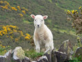 Little cuddly lamb countryside south england Stock Photos
