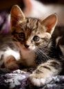 Little curious kitten. Royalty Free Stock Photo