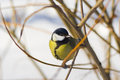 Little cute blue tit sitting on a branch Royalty Free Stock Images