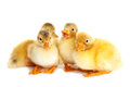 Little cute ducklings isolated