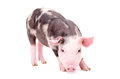 Little cute pig standing isolated on white background Royalty Free Stock Images