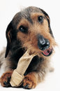 Little dachshund dog chewing on a dog snack Royalty Free Stock Photos