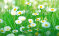 Little daisy beautiful spring in grass Stock Photography