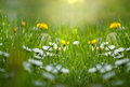 Little daisy and dandelion in meadow spring Stock Photography