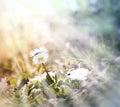 Little daisy spring daisy illuminated by sunlight in Stock Photos