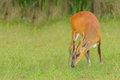 The little deer nibble grass. Stock Photo