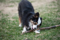 Little dog big stick australian shepherd chews on a large in the grass Stock Photos