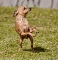 Little dog doing twist and shout to make the rain fall Royalty Free Stock Photo