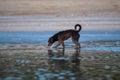 Little dog walking the beach alone Stock Photos
