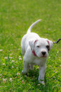 Little dogo argentino walking through the grass on a sunny day Royalty Free Stock Photos
