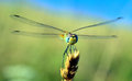 Little dragonfly small resting on a blade of grass Royalty Free Stock Photos