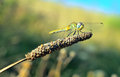 Little dragonfly small resting on a blade of grass Stock Image