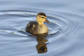 Little Duckling Royalty Free Stock Photo