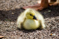 Little duck resting Stock Photography