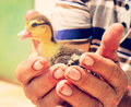 Little duck selective focus on the in man hands Stock Image