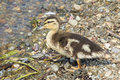Little duckling walking along the shore of the pond Royalty Free Stock Image
