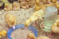 Little ducklings in the cage. Young ducks on a poultry farm for