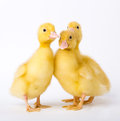 Little ducklings on white background Stock Photos