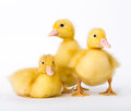 Little ducklings on white background Stock Photo