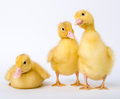 Little ducklings on white background Stock Photography