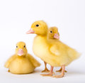 Little ducklings on white background Stock Images