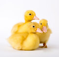 Little ducklings on white background Royalty Free Stock Photo