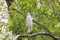 Little egret aquatic heron bird in white perching on tree branch Royalty Free Stock Photo