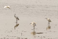 Little egret aquatic heron birds walking on tropical coastal swa Royalty Free Stock Photo