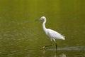 Little egret aquatic heron with black legs, yellow feet walking Royalty Free Stock Photo