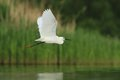 Little egret egretta garzetta flying over the natural enviroment pond Royalty Free Stock Photos