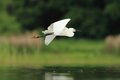 Little egret egretta garzetta flying over the natural enviroment pond Royalty Free Stock Photography