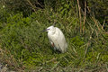Little egret egretta garzetta in a hide out Stock Photos