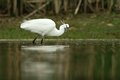 Little egret egretta garzetta hunting in the natural enviroment pond Stock Photography