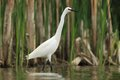 Little egret egretta garzetta hunting in the natural enviroment pond Royalty Free Stock Photography