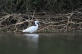 Little egret egretta garzetta hunting in the natural enviroment pond Stock Photo