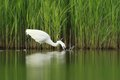 Little egret egretta garzetta hunting in the natural enviroment pond Royalty Free Stock Images