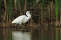 Little egret egretta garzetta hunting in the natural enviroment pond Stock Image