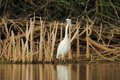 Little egret egretta garzetta hunting in the natural enviroment pond Royalty Free Stock Photo