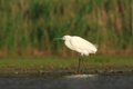 Little egret egretta garzetta hunting in the natural enviroment pond Royalty Free Stock Image